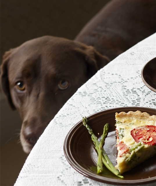 Labrador looking up at quiche on dining table.