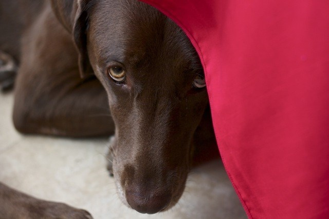 Chocolate Labrador hiding under table waiting for food to fall, Edible Times
