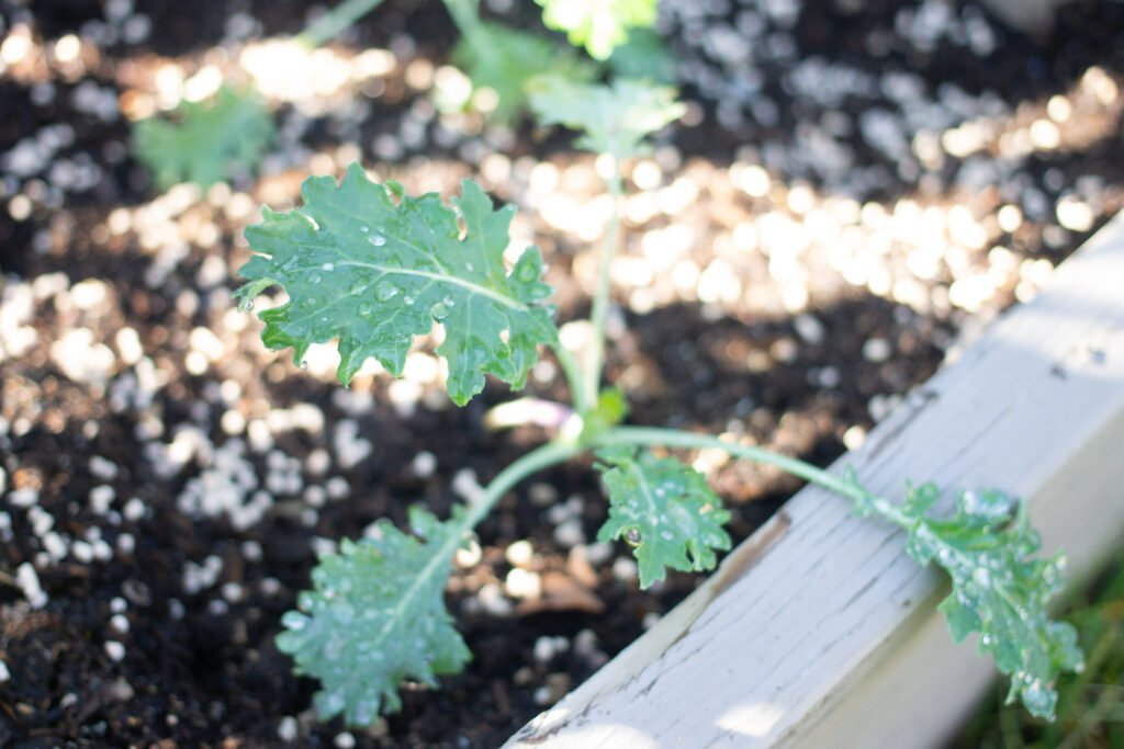 Small kale plant in garden.